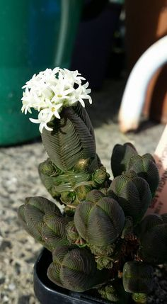 Crassula Quadrangularis