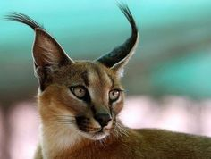 """Enchanted Nature - This is a Caracal, alos sometimes called a """"Persian Lynx"""" or """"African Lynx""""."""