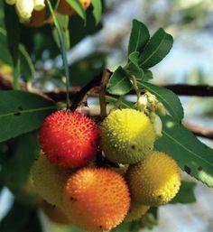 ca native strawberry bush | ... Niguel Water District - California-Friendly Plant: Strawberry Tree
