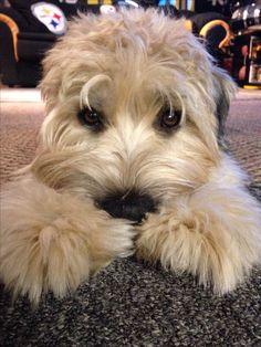 Stanley :) Looks just like my Harley girl !!!!