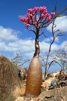Image from http://socotra-trek.com/wp-content/uploads/2013/08/bottle-tree.jpg.