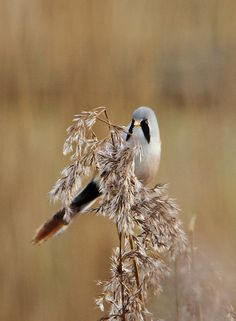 Bearded tit in reedbed World Wetlands Day, Chickadees, All Birds, East Sussex, Land Art, Beautiful Birds, Equestrian, Wildlife, Survival