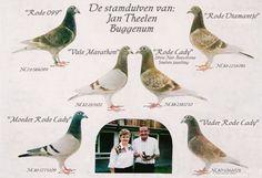 Resultado de imagen de world famous long distance racing pigeons