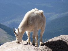 Mountain goat on the top of Mt. Evans