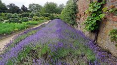 lavender - Beningbrough Hall Walled Garden