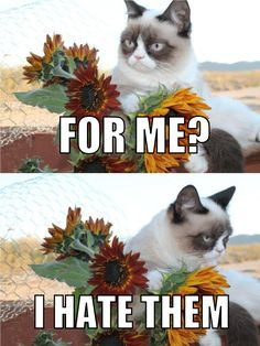 Grumpy Cat gets a gift he's back. he's grumpy. omega grumpy cat invasion shall start nnnoooowww Grumpy Cat Quotes, Funny Grumpy Cat Memes, Funny Cats, Funny Animals, Cute Animals, Grumpy Kitty, Grump Cat, Grumpy Baby, Cat Jokes