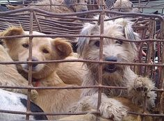Korean Dog Meat Festival. These puppies will be dropped alive in boiling water.