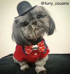 My Gucci wearing Bow Tie that I made ( Bella Model, Westies, Gucci, Bows, How To Wear, Animals, Fashion, Arches, Moda