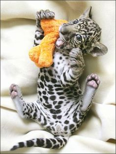 jaguar! So adorable * small tear * I'm allergic to cuteness ;)