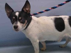 SAFE❤️❤️ 9/4/16 BY ESKIES ONLINE❤️❤️ THANK YOU❤️ SUPER URGENT Manhattan Center FELIX – A1087575 MALE, WHITE / BLACK, CHIHUAHUA SH MIX, 10 yrs STRAY – STRAY WAIT, NO HOLD Reason STRAY Intake condition GERIATRIC Intake Date 08/27/2016, From NY 10036, DueOut Date08/30/2016,
