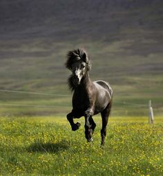 Poni islandés