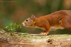 The are cute, a Red Squirel female photo Walter Soestbergen