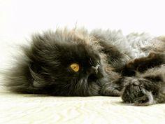 Toffee: gato persa europeo.