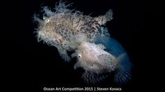 1st place, marine life behavior, 'Egg Release'  Look closely, as this image captures a moment that has only been seen by a handful of people. A female Striated frogfish is shown rising toward the surface of water at Lake Worth Lagoon near Riviera Beach, Florida  | www.piclectica.com #piclectica