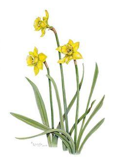 Daffodils Watercolor© 2009 Linda Lorraine Wolfe