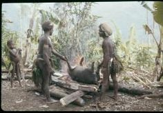 Papuan people and pigs