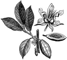 Cacao illustration