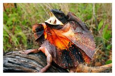 Frilled Lizard Running Related Keywords & Suggestions - Frilled Lizard Running Long Tail Keywords Mythical Creatures, Sea Creatures, Fantasy Creatures, Animals Of The World, Animals And Pets, Baby Animals, Lizard Dragon, Dragon 2, Iguana Pet