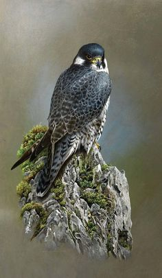"""""""Peregrine Peak"""" (Peregrine Falcon) by Terance James Bond. Signed Giclee Print-Strictly Limited to 65 Copies only. Visible Image x Wildlife Paintings, Wildlife Art, Animal Paintings, Bird Pictures, Animal Pictures, Scratchboard Art, Peregrine Falcon, Color Pencil Art, Bird Drawings"""