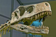 Frenguellisaurus_ischigualastensis_DSC_6183.jpg (4288×2848) - Maintenant Herrerasaurus. Dinosauria, Saurischia, Theropoda, Herrerasauria, Herrerasauridae. Auteur : Eva Kröcher (Eva K.), 2010.