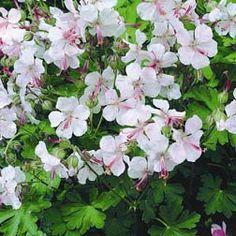 Hardy Geranium Biokova - Single Flowering Hardy Geraniums - The Vernon Geranium Nursery
