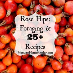Learn how to harvest and use this natural, free source of Vitamin C! Foraging for Rose Hips, health benefits of rose hips and 25+ recipes for using rose hips | Montana Homesteader