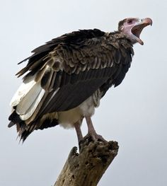 Lappet faced vultures are found in African savannahs and in Arabia. Although seldom mentioned among the largest flying birds, they are actually as large as American condors, with a wingspan of 3 meters and weighing up to 14 kgs. They also have much larger, sharper and more powerful beaks than condors. This is because, unlike condors, which are full-time scavengers, the Lappet-faced vulture is also an opportunistic predator, feeding on any animal it can subdue.