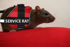 Service Rat
