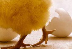 Photo of baby chicken.