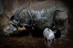 Introducing the rhino mini A newborn Indian rhino...