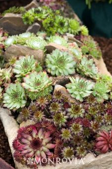 A hardy mix of Hens and Chicks specially selected to compliment not only each other but your rock garden or container planting as well. This selection ranges from green to purple foliage and will bloom white to pink flowers in late spring. Evergreen. Zones 4-9 partial to full sun. 6 inches tall 12-15 inches wide. Blooms late spring early summer.