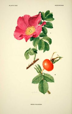 Flowers Tattoo Rose Botanical Illustration 58 Ideas For 2019 Gravure Illustration, Plant Illustration, Botanical Illustration, Botanical Drawings, Botanical Prints, Impressions Botaniques, Illustration Botanique, Wild Edibles, Ornamental Plants