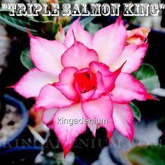 """ADENIUM OBESUM DESERT ROSE ROSY """" TRIPLE SALMON KING """" 10 SEEDS NEW HYBRID"""