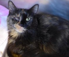 Meet+C-65618+Kalia,+a+Petfinder+adoptable+Tortoiseshell+Cat+|+Mount+Holly,+NJ+|+Meet+Kalia!+This+3+year+old+beauty+was+found+in+Burlington+City.+Poor+Kalia+is+having+a+rough+time;...
