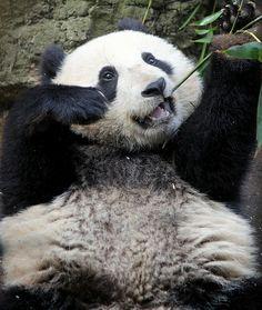Xiao Liwu takes after his papa Gao Gao the bamboo eating machine.