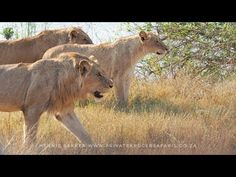10 Young Lions seen, unexpectedly close to Skukuza camp in Kruger Nation...