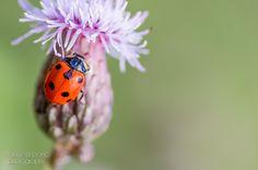 ladybug by Manuela Bonci on 500px