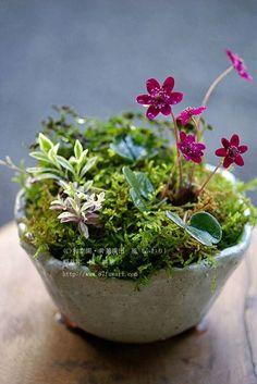 Bonsai Accent Plant 43