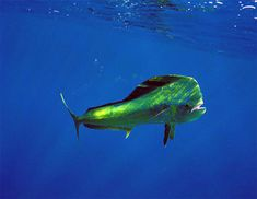"Mahi-mahi means ""very strong"" in Hawaiian (also known widely as dorado) - Catch on in Hawaii Today! Deep Sea Fishing for Mahi Mahi Saltwater Fishing, Kayak Fishing, Fishing Tips, Fishing Shoes, Fishing Stuff, Underwater Creatures, Ocean Creatures, Dorado Fish, Ocean Video"