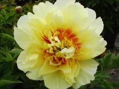 A wonderful yellow peony, hybridized by Don Hollingsworth. Blooming Flowers, Colorful Flowers, Beautiful Flowers, Yellow Peonies, Growing Peonies, Tree Peony, All Themes, Mellow Yellow, Planting Flowers