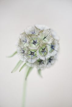 scabiosa stellata by michelle marshall on 500px