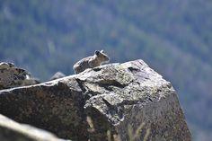 Pika, Glacier National Park, Montana (pinned by haw-creek.com)