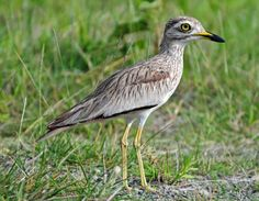 Senegal thick-knee on the ground near lake langano