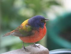 painted+bunting+male+closeup+4-29-12cropweb.JPG (625×480)