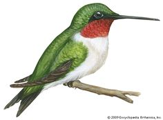 Art:The ruby-throated hummingbird (Archilochus colubris) is the only hummingbird commonly found in the eastern half of North America.