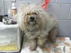 #A474805 Release date 10/28 I am a male, white Poodle - Miniature mix. Shelter staff think I am about 2 years old. I have been at the shelter since Oct 21, 2014.  City of San Bernardino Animal Control-Shelter. https://www.facebook.com/photo.php?fbid=10203802563642119&set=a.10203202186593068&type=3&theater