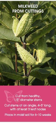 Milkweed From Cuttings