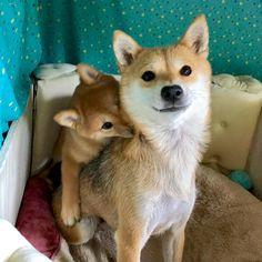 * おんぶしてるっぽい * ほんとは うのちゃんが のんのんの背中に乗っかってきたの * * Pick me up on your back, please, mom * * #柴犬うのちゃん #生後2ヶ月め #まだママにあまあま #うののんツーショット * *