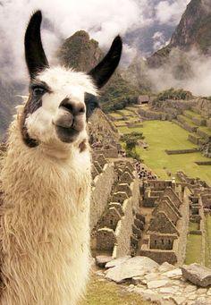 Machu Picchu  llama primer plano