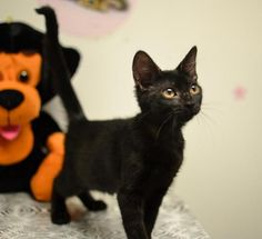 09/14/2016 ADOPT Zena - SUPER URGENT - located at City of Corsicana Animal Shelter, Corsicana, Texas - 3 MONTH OLD Female Domestic SH - Zena was brought to the shelter as a stray when she was 5 weeks old. After much TLC, she has blossomed into a black beauty. Zena has the most beautiful eyes and has a very regal bearing, she is active so no young children, microchipped, not yet spayed.